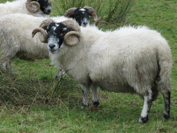 blackface ram sheep